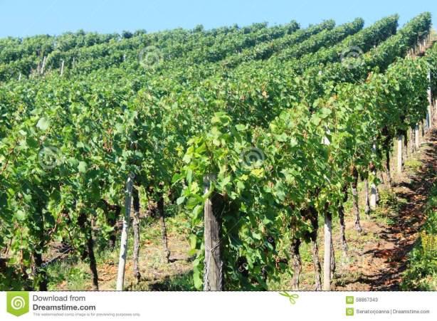 vineyard-dark-grapes-tree-schengen-luxembourg-58867343